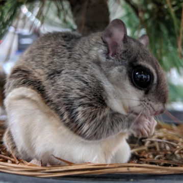Download: Flying Squirrel Facts & Kite Activity Sheet