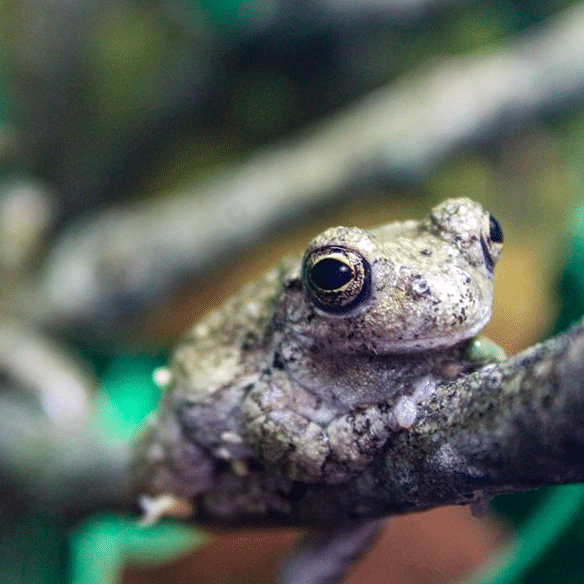 Download: Gray Tree Frog Activity Sheet