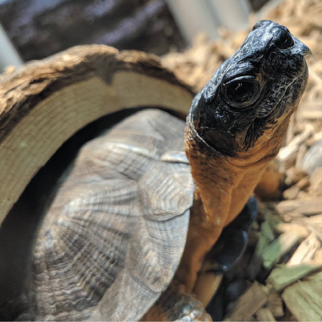 Download: Wood Turtle Activity Sheet